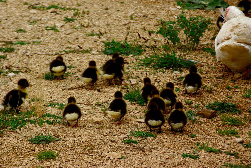 day19ducklings.jpg